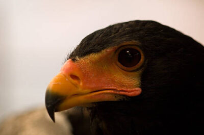 Picture of a bateleur eagle (Terathopius ecaudatus) at the Houston Zoo.