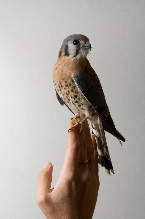 An American kestrel (Falco sparverius) on the hand of a girl at the Bramble Park Zoo.