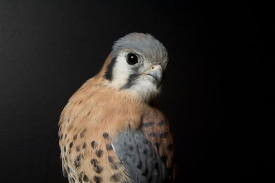 An American kestrel (Falco sparverius) at the Bramble Park Zoo.