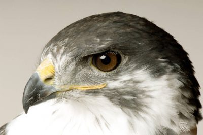 Photo: An augur buzzard (Buteo rufofuscus) at Reptile Gardens.