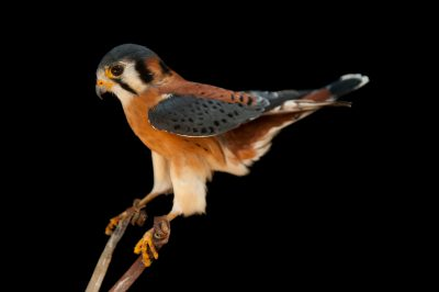 Photo: An American kestrel (Falco sparvarius paulus) at the Audubon Center for Birds of Prey.