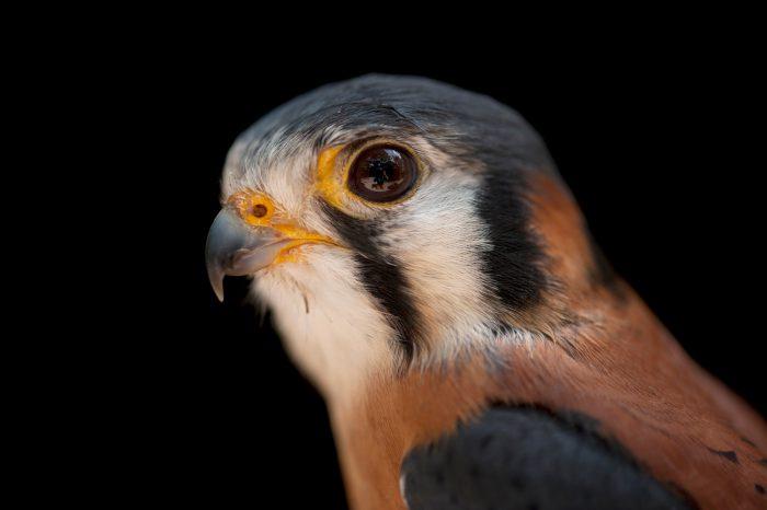 An American kestrel (Falco sparvarius paulus) at the Audubon Center for Birds of Prey.