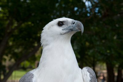 Photo: A white-bellied sea-eagle (Haliaeetus leucogaster).