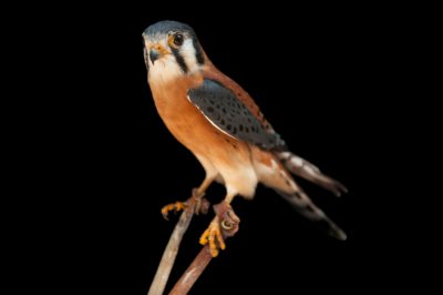 Photo: An American kestrel (Falco sparvarius paulus) at the Audubon Center for Birds of Prey.