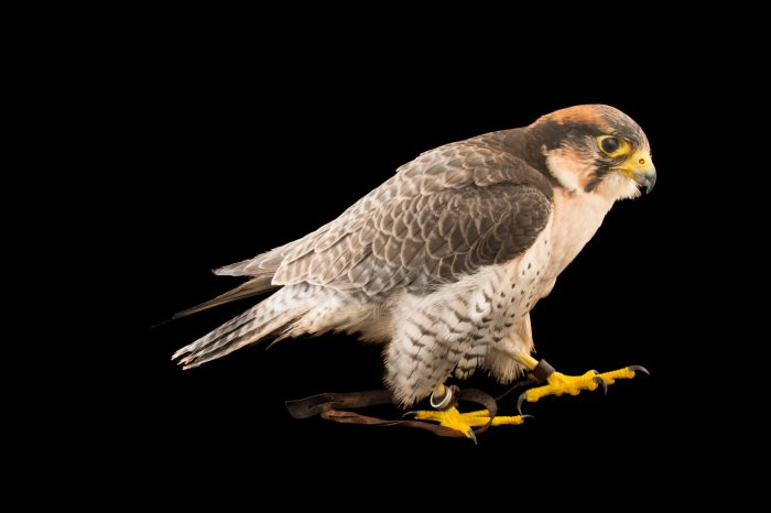 Picture of a lanner falcon (Falco biarmicus) named Slider at the LA Zoo.