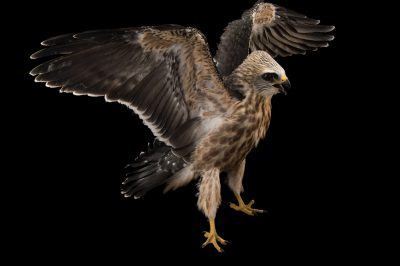 Picture of a juvenile Mississippi kite (Ictinia mississippiensis) at the WildCare Foundation.