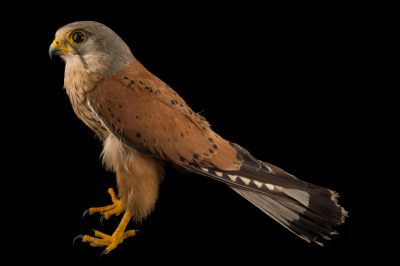 Photo: Common kestrel (Falco tinnunculus) from the Budapest Zoo.
