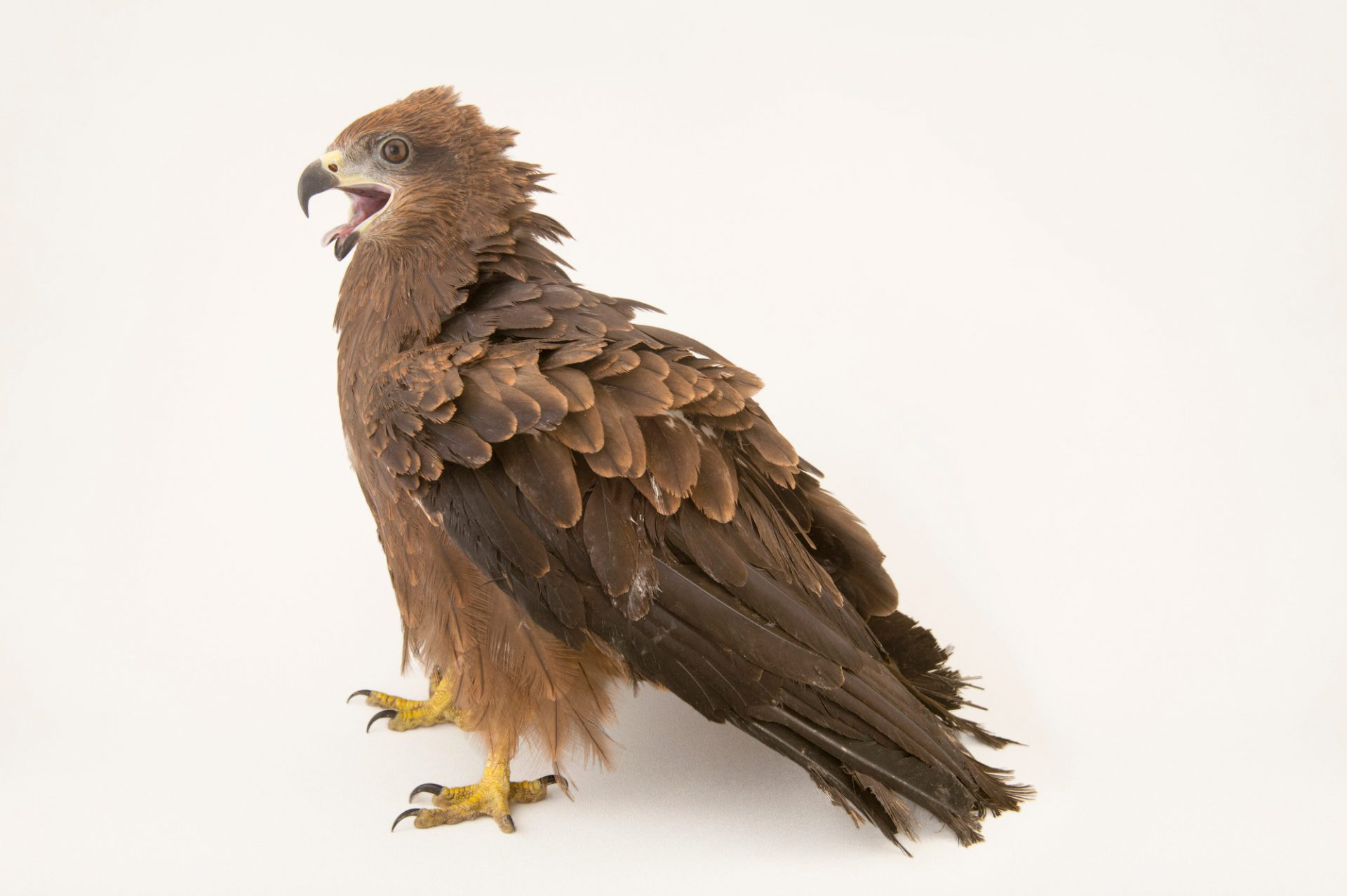 Photo: A small Indian kite (Milvus migrans govinda) from the Assam State Zoo.