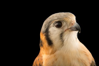 Photo: A female Cuban kestrel (Falco sparverius sparveroides) named Sweetie at the Marathon Wild Bird Center in Marathon, Florida.