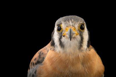 An American kestrel (Falco sparverius caucae) at Parque Jaime Duque near Bogota, Colombia.
