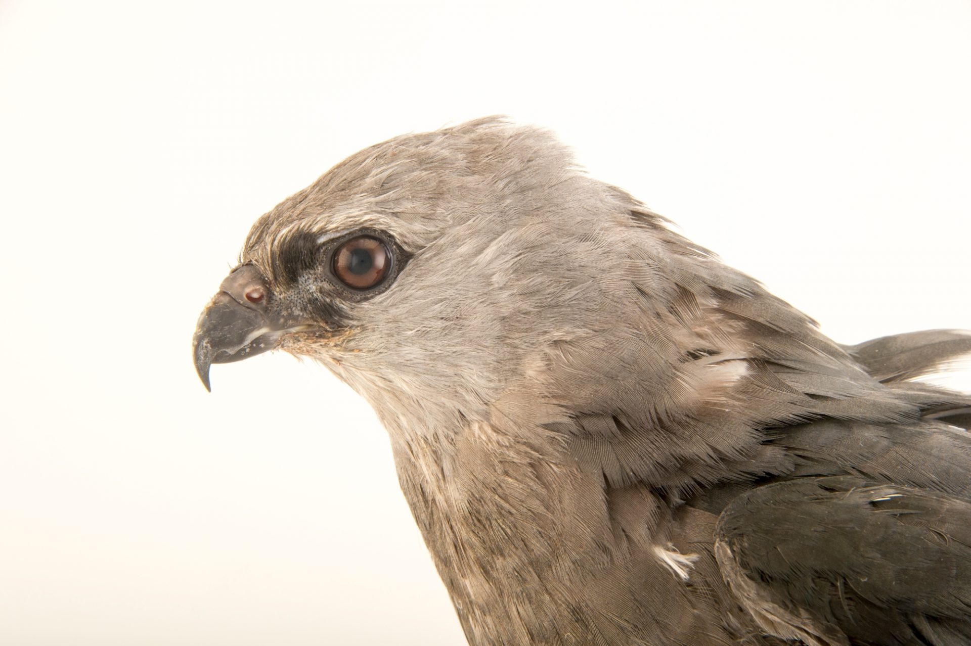 Photo: A Mississippi kite (Ictinia mississippiensis) at Rogers Wildlife Rehabilitation Center.