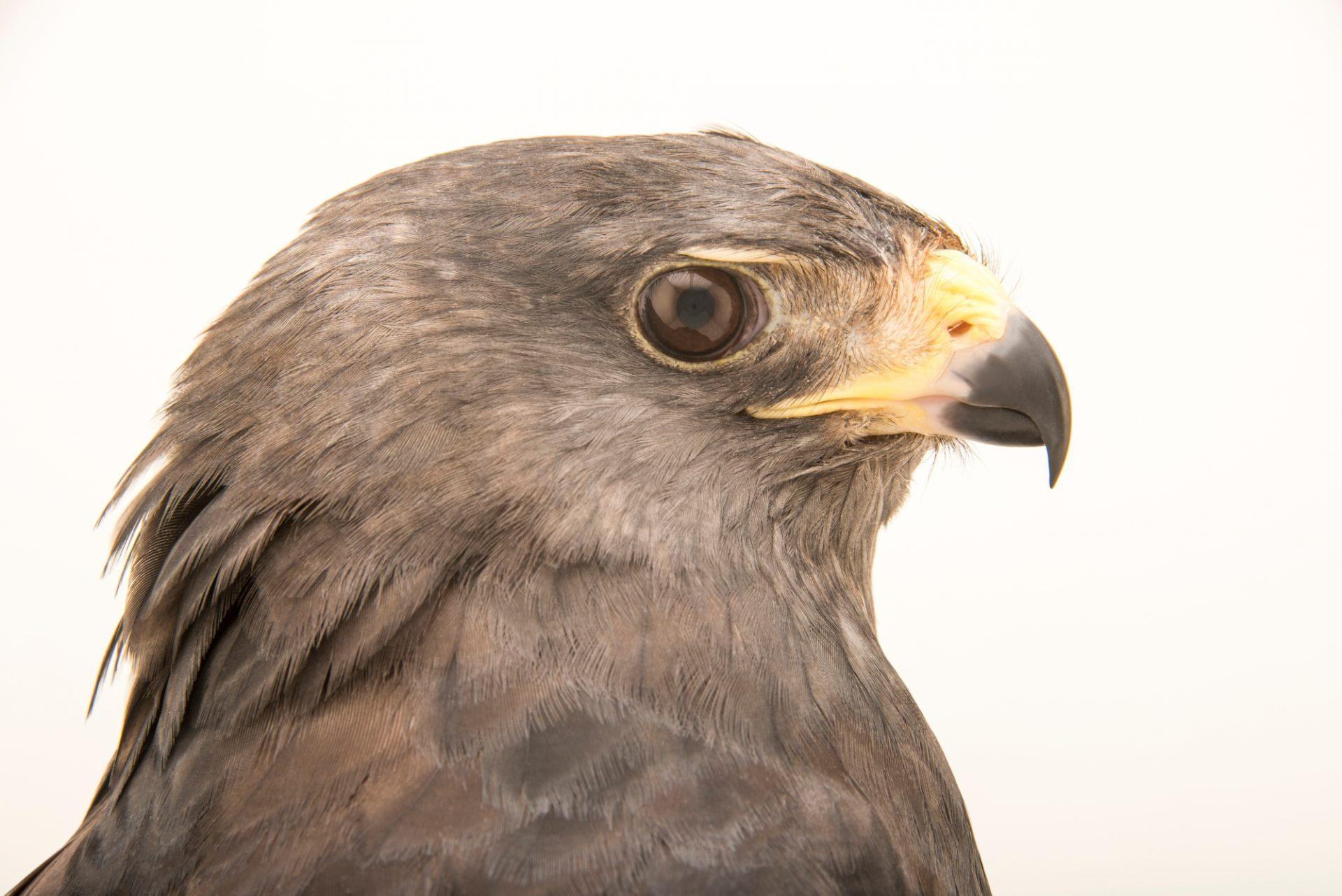 Photo: A zone-tailed hawk (Buteo albonotatus) at SIA, the Comanche Nation Ethno-Ornithological Initiative.