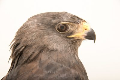 Photo: A zone-tailed hawk (Buteo albonotatus) at SIA, the Comanche Nation Ethno-Ornithological Initiative.
