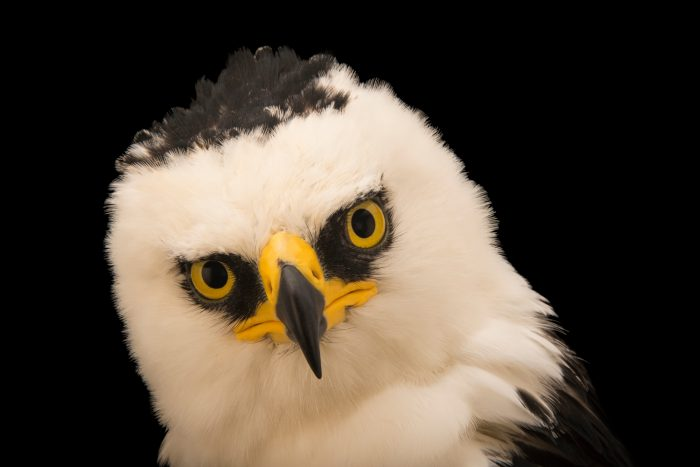 Photo: A black and white hawk eagle (Spizaetus melanoleucus) at SIA, the Comanche Nation Ethno-Ornithological Initiative.