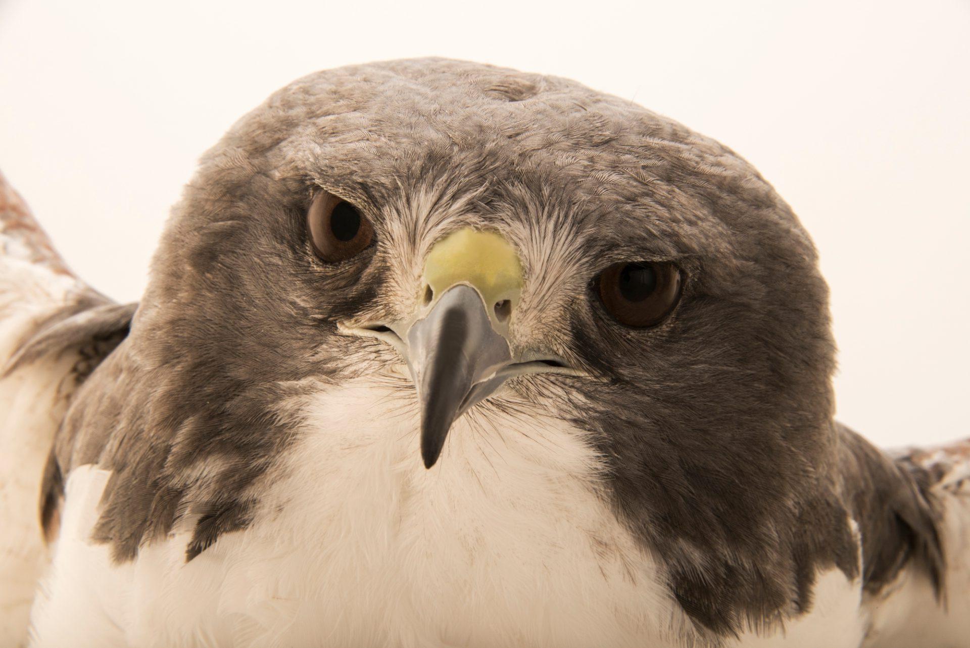 Photo: A white-tailed hawk (Geranoaetus albicaudatus hypospodius) at SIA, the Comanche Nation Ethno-Ornithological Initiative.