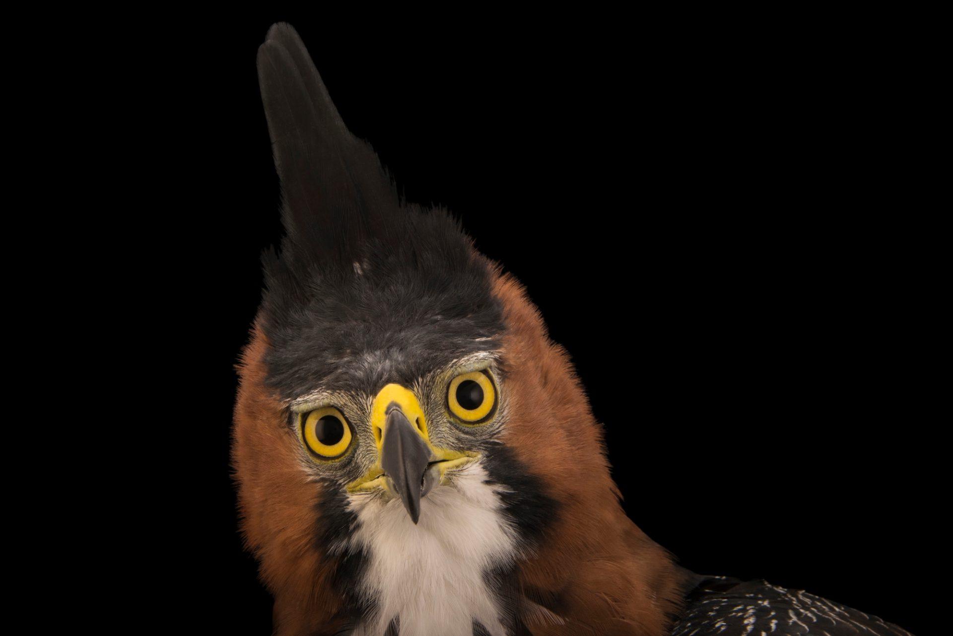 Photo: An ornate hawk eagle (Spizaetus ornatus vicarious) at SIA, the Comanche Nation Ethno-Ornithological Initiative.
