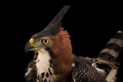 Photo: An ornate hawk eagle (Spizaetus ornatus vicarious) at SIA, the Comanche Nation Ethno-Ornithological Initiative.