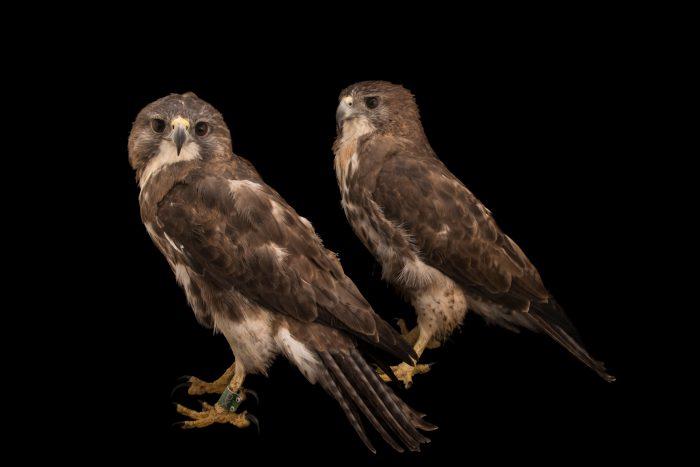 Photo: A pair of Hawaiian hawks or 'io (Buteo solitarius) at Sia, the Comanche Nation Ethno-Ornithological Initiative.