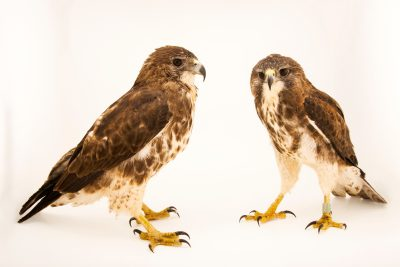 Photo: A pair of Hawaiian hawks or 'io (Buteo solitarius) at Sia, the Comanche Nation Ethno-Ornithological Initiative.