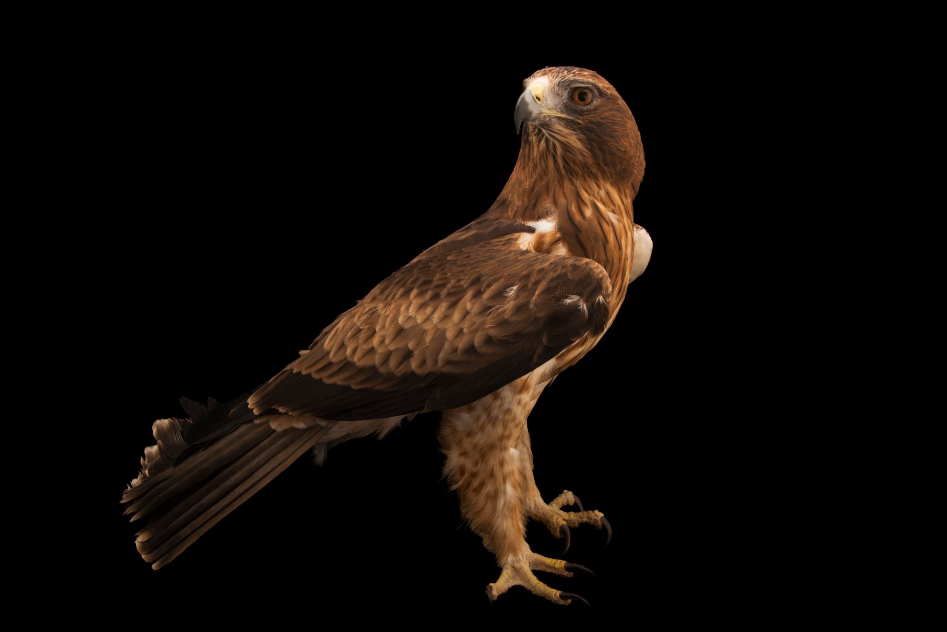 Photo: A booted eagle (Hieraaetus pennatus) at Sia, the Comanche Nation Ethno-Ornithological Initiative.