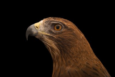 Photo: A booted eagle (Hieraaetus pennatus) at Sia, the Comanche Nation Ethno-Ornithological Initiative.
