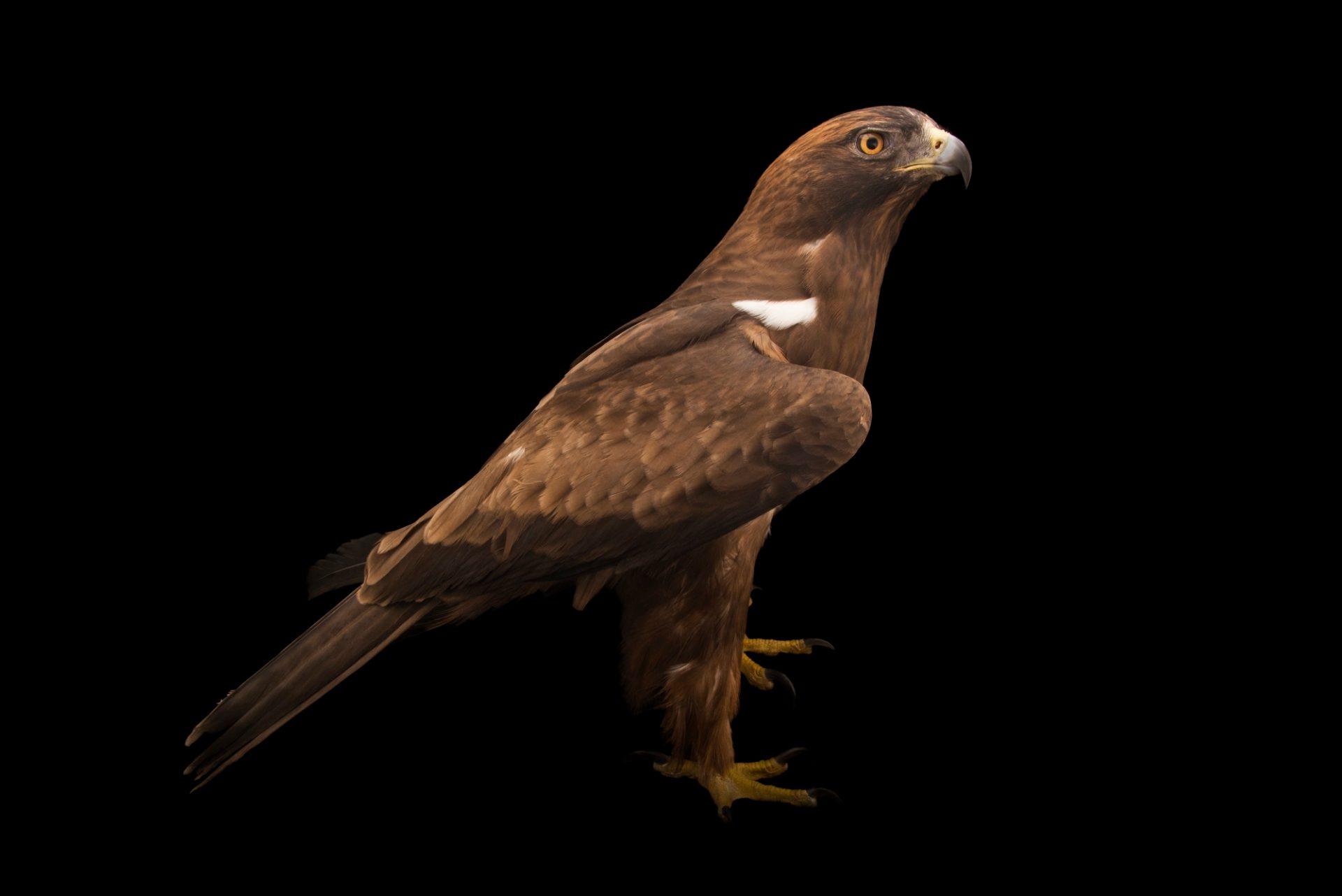 Photo: The melanistic (dark phase) of a booted eagle (Hieraaetus pennatus) at Sia, the Comanche Nation Ethno-Ornithological Initiative.