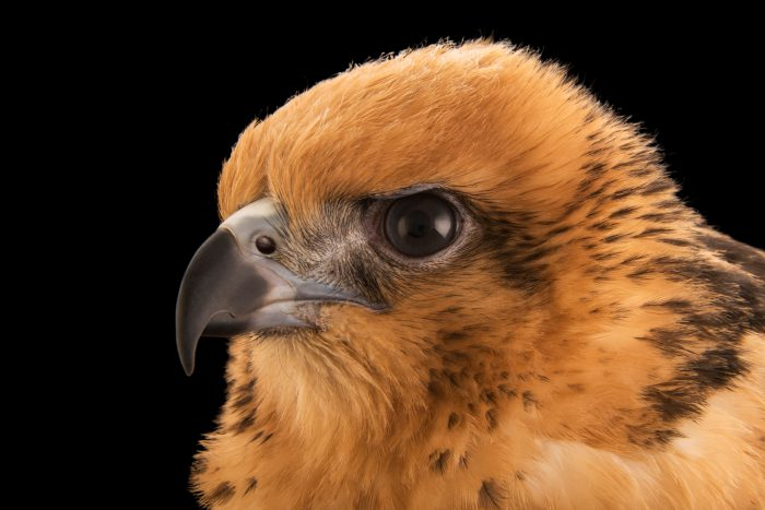 Photo: A 13-week, female Hawaiian hawk (Buteo solitarius) named Wahine (Hawaiian for little girl) at Sia, the Comanche Nation Ethno-Ornithological Initiative.