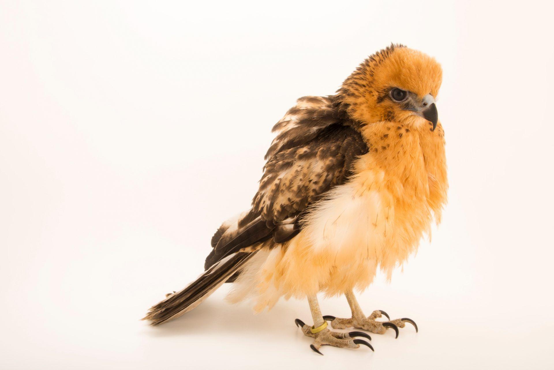 Photo: A 13-week, female Hawaiian hawk (Buteo solitarius) named Wahine (Hawaiian for little girl) at Sia, the Comanche Nation Ethno-Ornithological Initiative.