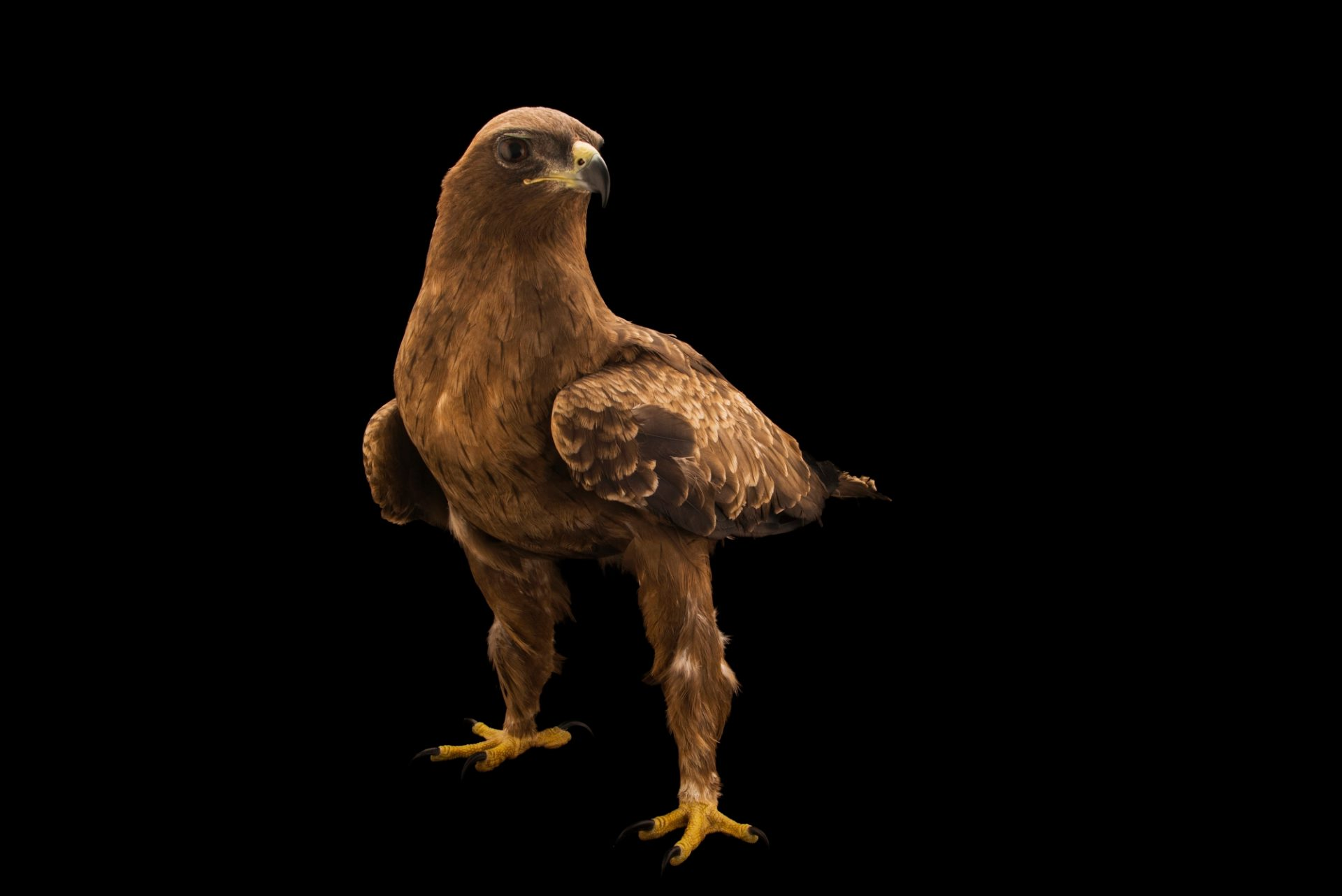 Photo: A Wahlberg's eagle (Aquila wahlbergi) at Sia, the Comanche Nation Ethno-Ornithological Initiative.