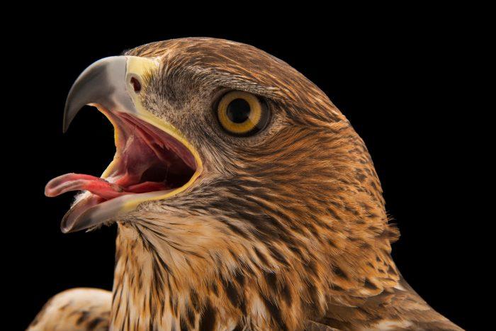 Photo: A Bonelli's eagle (Aquila fasciata fasciata) at Sia, the Comanche Nation Ethno-Ornithological Initiative.
