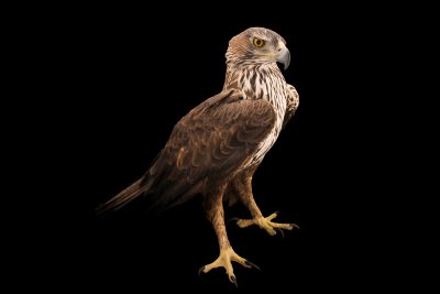 Photo: A Bonelli's eagle (Aquila fasciata fasciata) at Sia, the Comanche Nation Ethno-Ornithological Initiative.