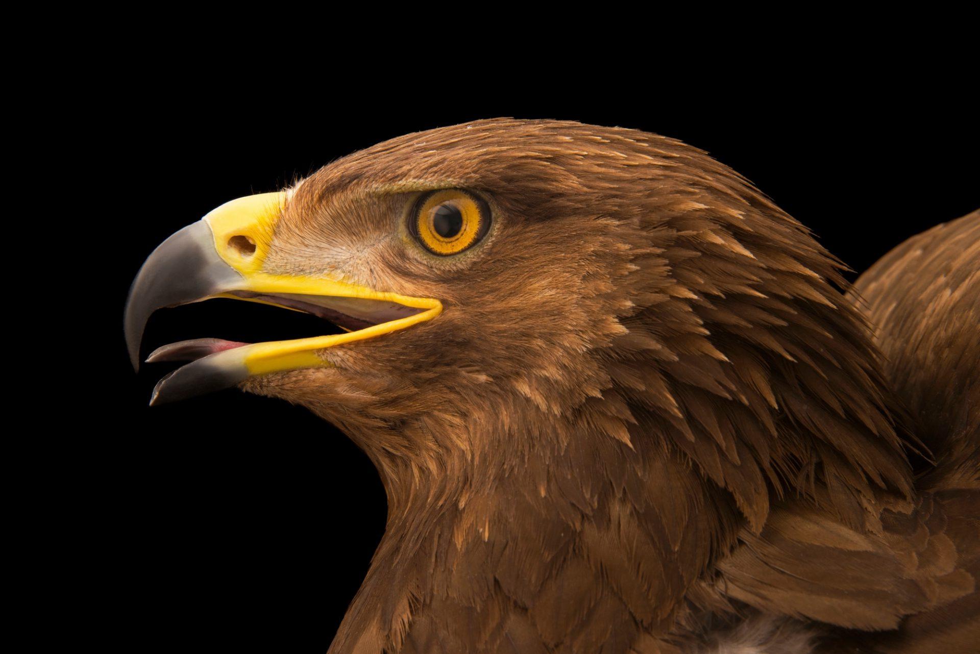 Photo: A lesser spotted eagle (Aquila pomarina) at Sia, the Comanche Nation Ethno-Ornithological Initiative.