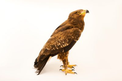 Photo: A lesser spotted eagle (Aquila pomarina) at Sia, the Comanche Nation Ethno-Ornithological Initiative.