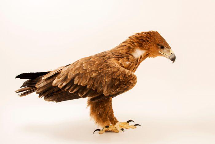 Photo: A tawny eagle (Aquila rapax) at Sia, the Comanche Nation Ethno-Ornithological Initiative.
