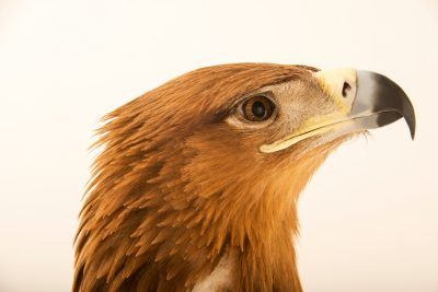 Photo: A tawny eagle (Aquila rapax) at Sia, the Comanche Nation Ethno-Ornithological Initiative.