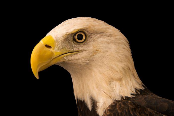 Photo: A southern bald eagle (Haliaeetus leucocephalus leucocephalus) at Sia, the Comanche Nation Ethno-Ornithological Initiative.
