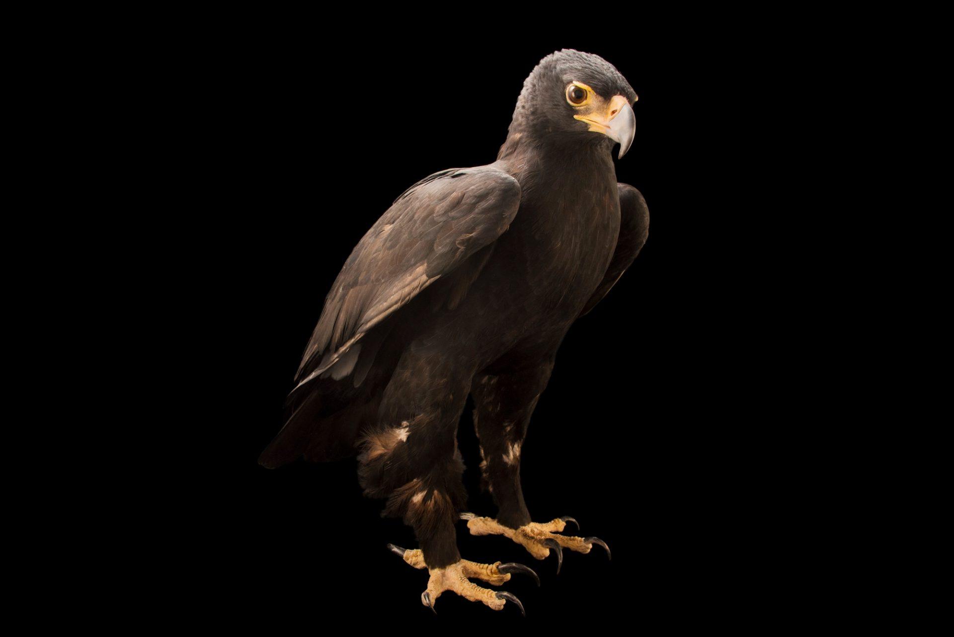 Photo: A Verreaux's eagle (Aquila verreauxii) at Sia, the Comanche Nation Ethno-Ornithological Initiative.