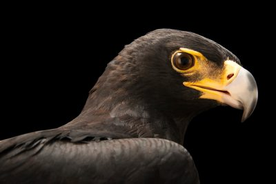 Photo: A Verreaux's eagle (Aquila verreauxii) at Sia, the Comanche Nation Ethno-Ornithological Initiative.