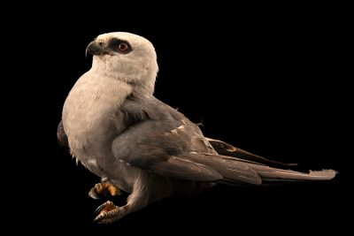 Photo: A Mississippi kite, Ictinia mississippiensis, at the WildCare Foundation.