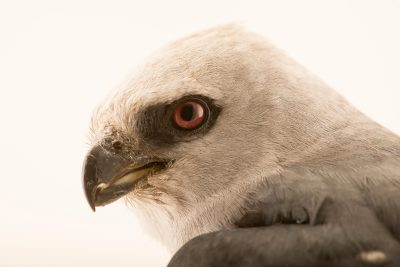 Photo: A Mississippi kite (Ictinia mississippiensis) at the WildCare Foundation.