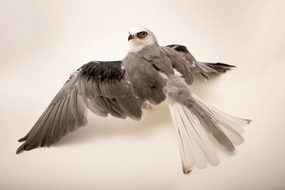 Photo: A juvenile white tailed kite (Elanus leucurus) at the University of California, Davis California Raptor Center.