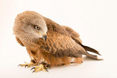 Photo: Black kite (Milvus migrans migrans) at Lisbon Zoo.