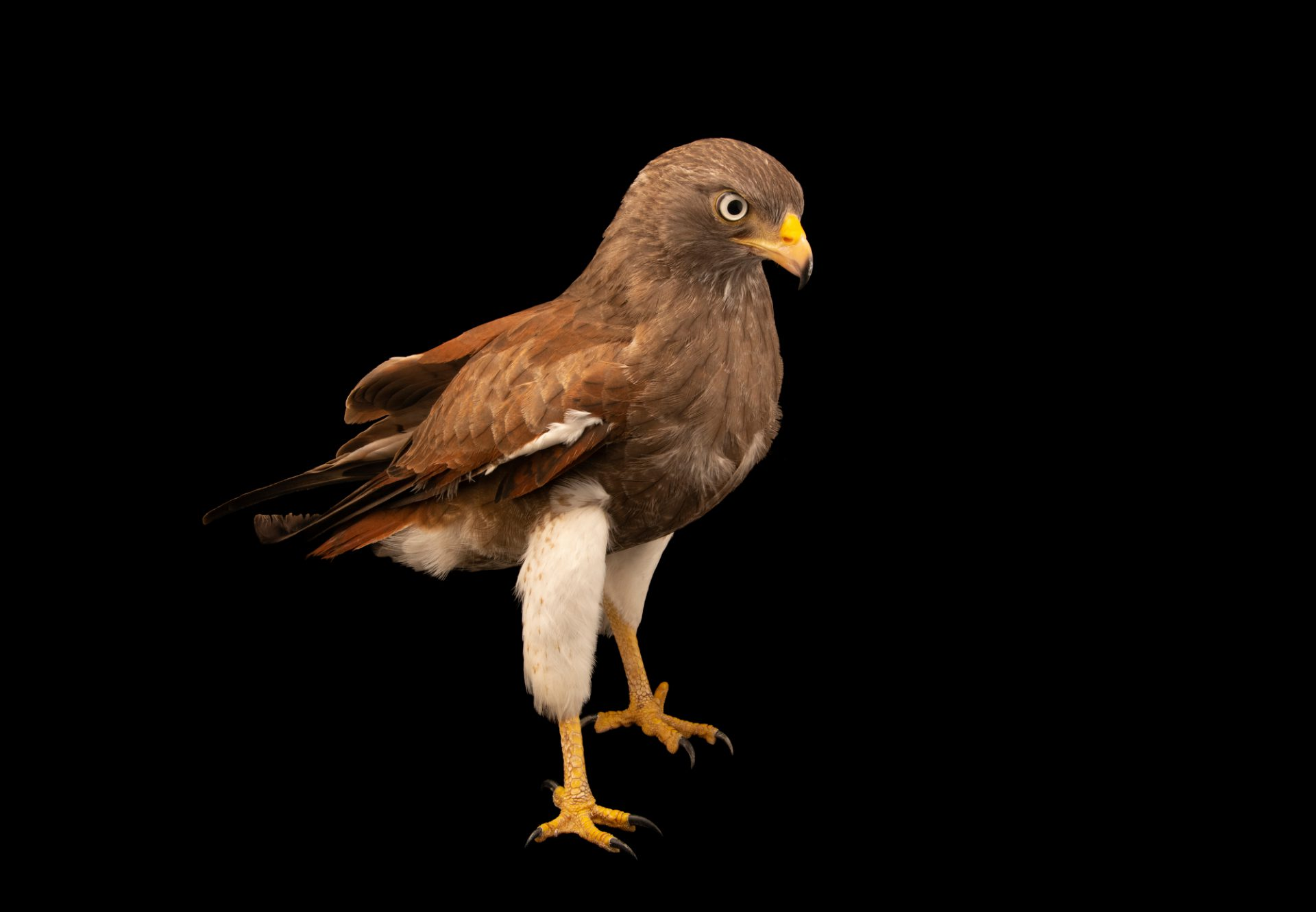 Photo: Rufous-winged buzzard (Butastur liventer) at the Angkor Centre for Conservation of Biodiversity (ACCB) in Siem Reap, Cambodia.
