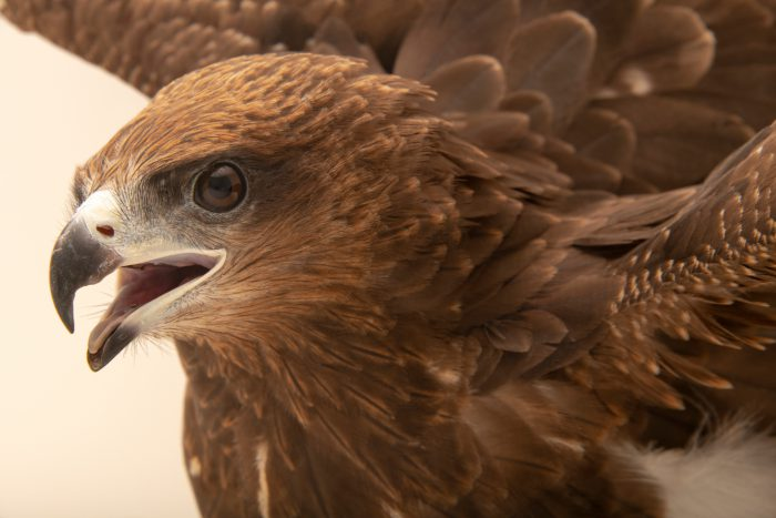 Photo: Black Kite (Milvus migrans lineatus) at the Angkor Centre for Conservation of Biodiversity (ACCB) in Siem Reap, Cambodia.