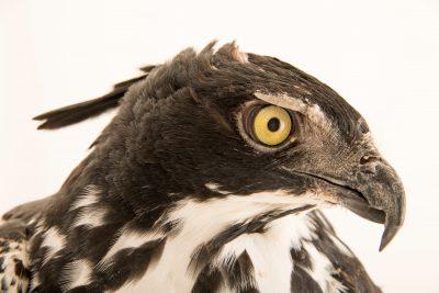 Photo: A Blyth's hawk-eagle (Nisaetus alboniger) at Jurong Bird Park, of Wildlife Reserves Singapore.