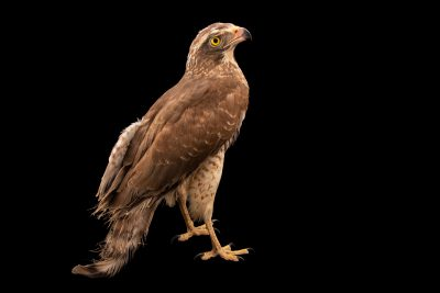 Photo: Grey-faced buzzard (Butastur indicus) at Eltoro Zoo de la Castellana, Inc., on Negros Island, Philippines.