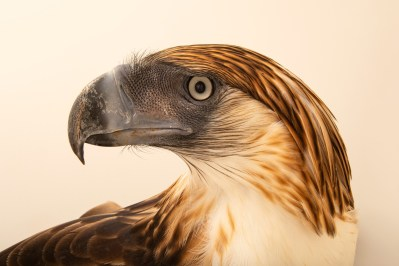 Photo: A critically endangered Philippine eagle (Pithecophaga jefferyi) at the Philippine Eagle Center.