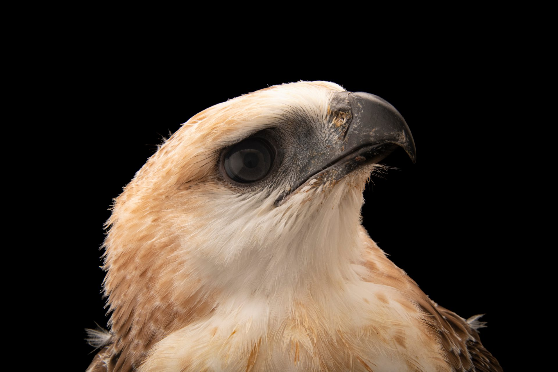 Photo: A endangered South Philippines hawk-eagle (Nisaetus pinskeri) at the Philippine Eagle Center.