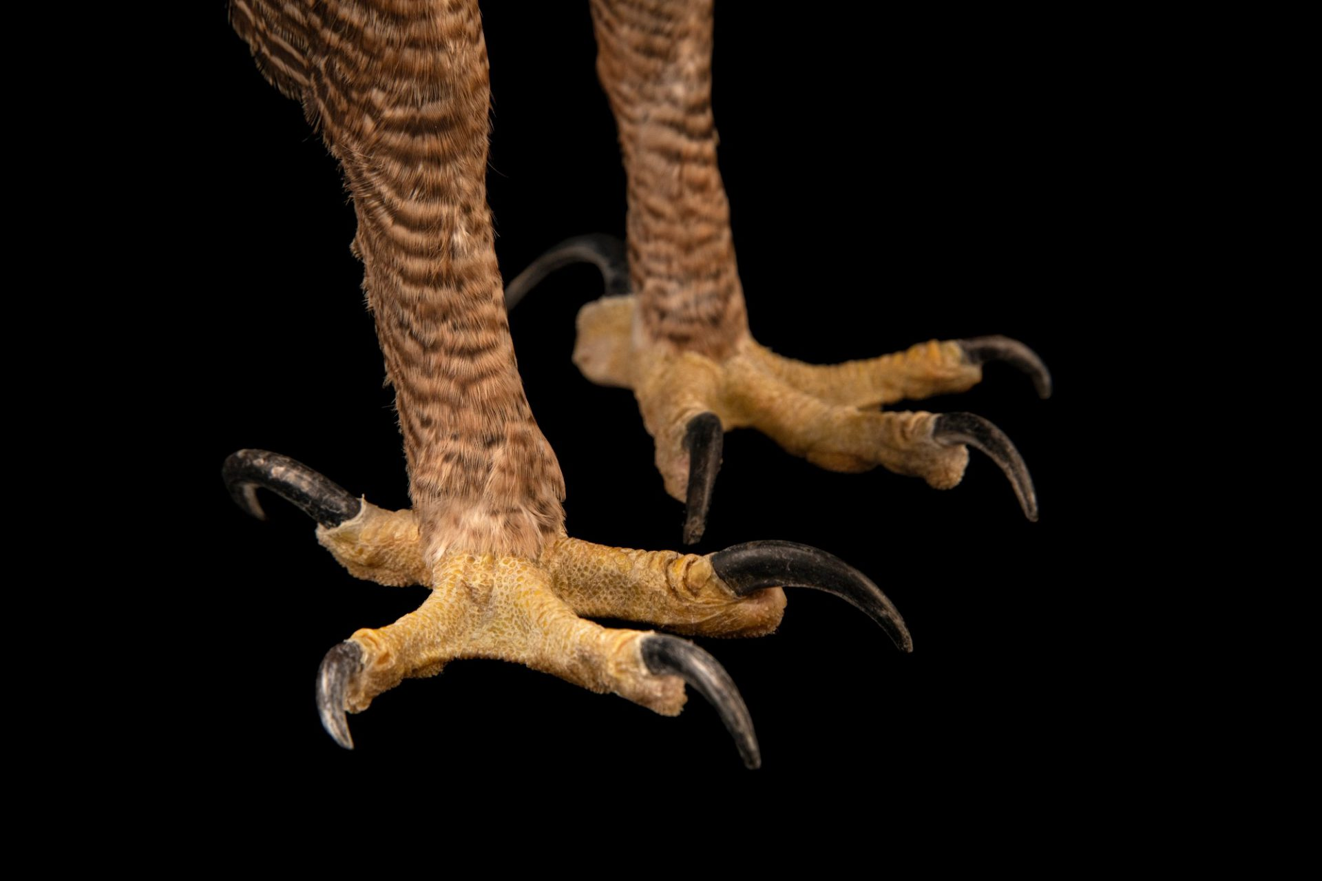 Photo: The talons of an endangered North Philippine hawk-eagle (Nisaetus philippensis) at the Avilon Zoo.