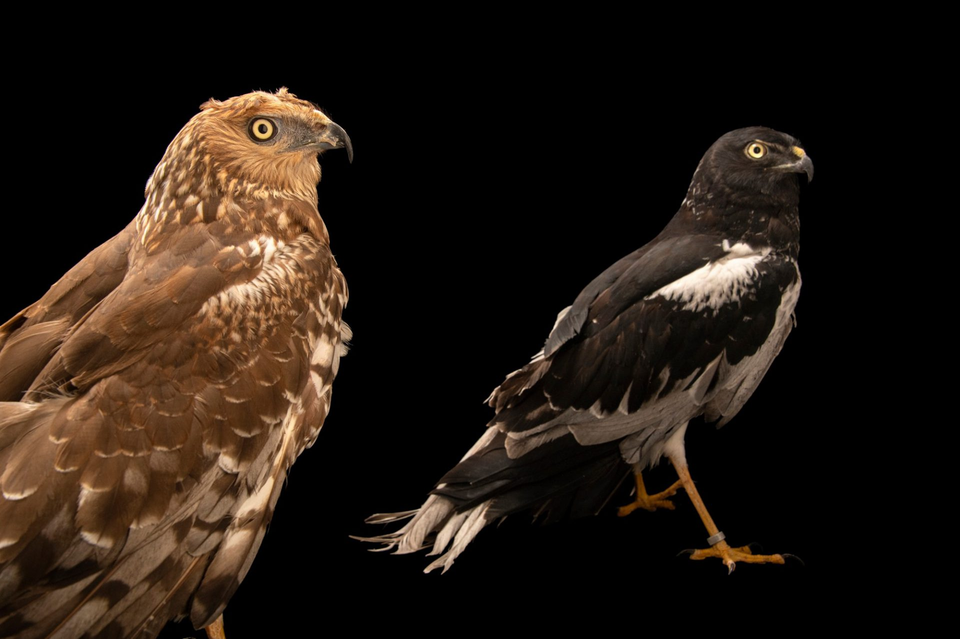 Photo: A male and female pair of pied harrier (Circus melanoleucos) at the Avilon Zoo.